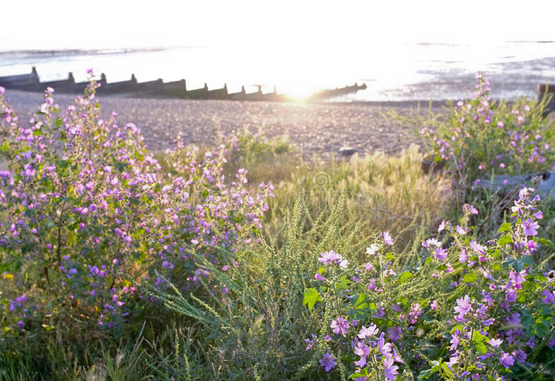 Wildflowers on Beach in Evening Light, Whitstable. Evening light shining behind purple wildflowers growing on the shingle beach in Whitstable in Kent, England royalty free stock photo