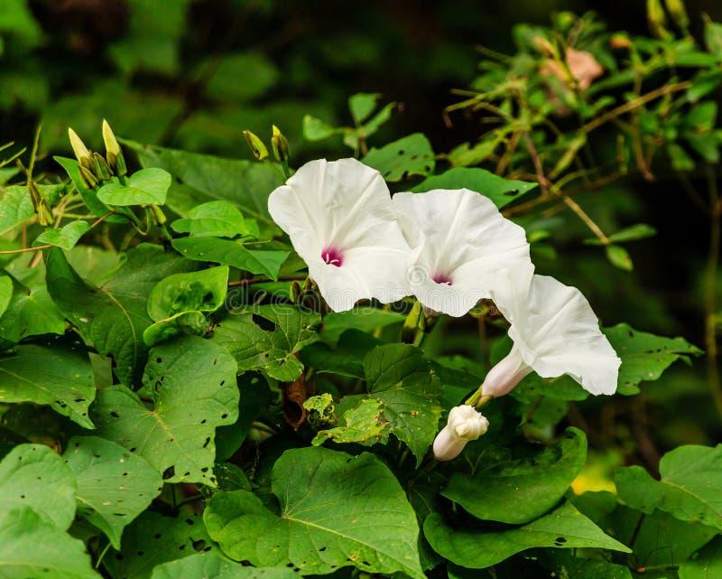 Wildflowers bianchi sulle viti verdi fotografia stock