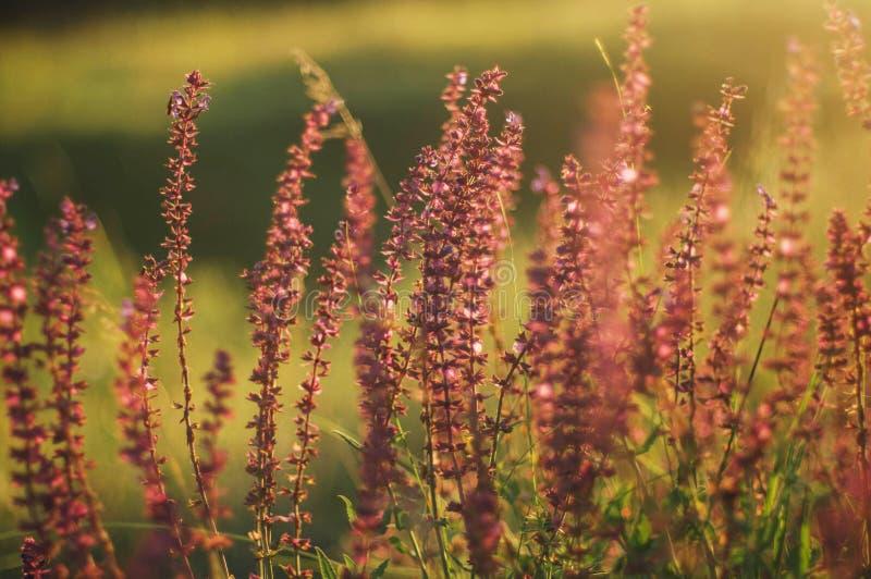 Wildflowers bij zonsondergang Gebied met wilde bloemen klein purper w royalty-vrije stock foto