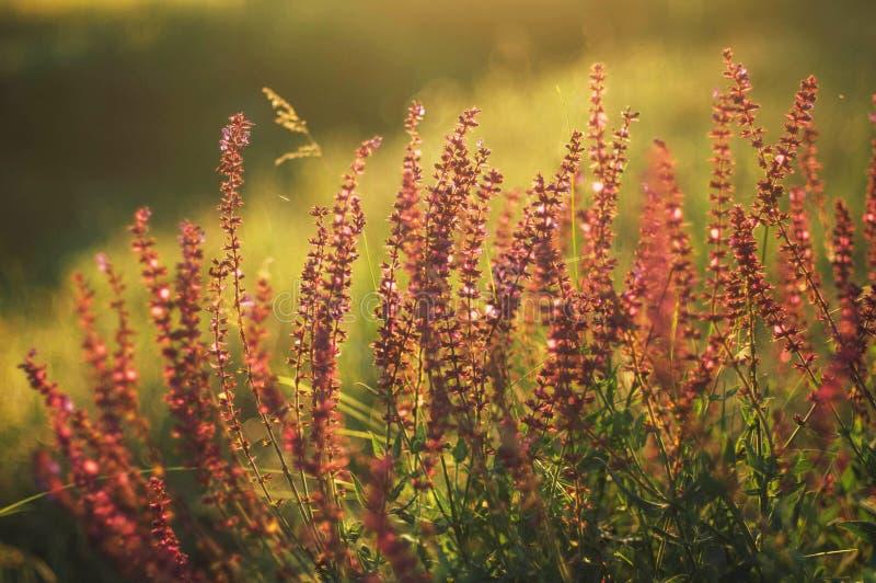 Wildflowers bij zonsondergang Gebied met wilde bloemen klein purper w stock afbeelding