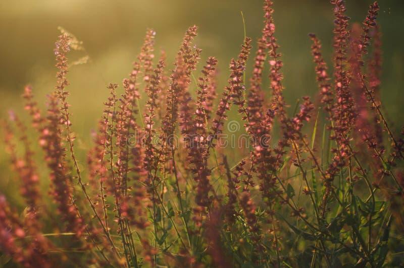 Wildflowers bij zonsondergang Gebied met wilde bloemen klein purper w royalty-vrije stock afbeelding