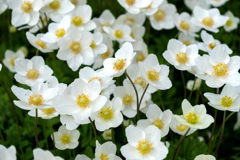 Wildflowers blancos en el c?sped al aire libre foto de archivo