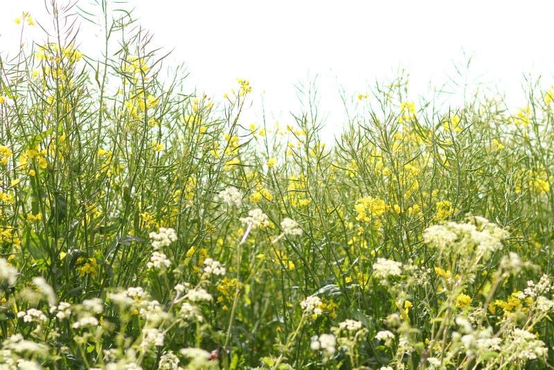 Wildflowers blancos y amarillos macros con el espacio blanco en la parte superior fotos de archivo