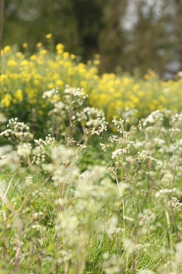Wildflowers blancos y amarillos macros en el borde del campo foto de archivo libre de regalías