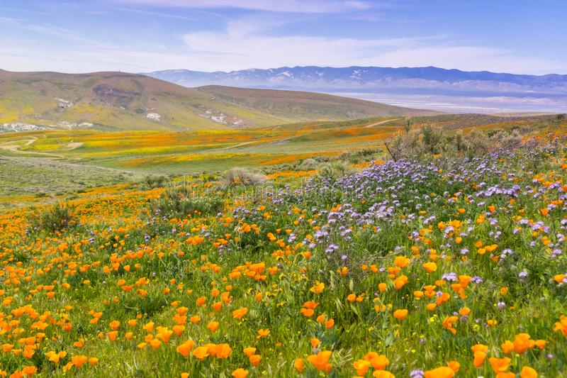 Wildflowers blooming on the hills in springtime, California royalty free stock photography