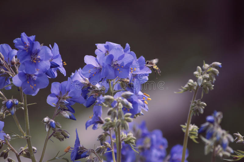 Wildflowers. Blue wildflowers and flying wasp stock images