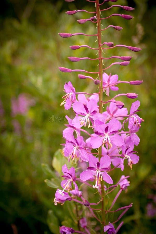 Wildflowers bonitos, cor-de-rosa imagens de stock royalty free
