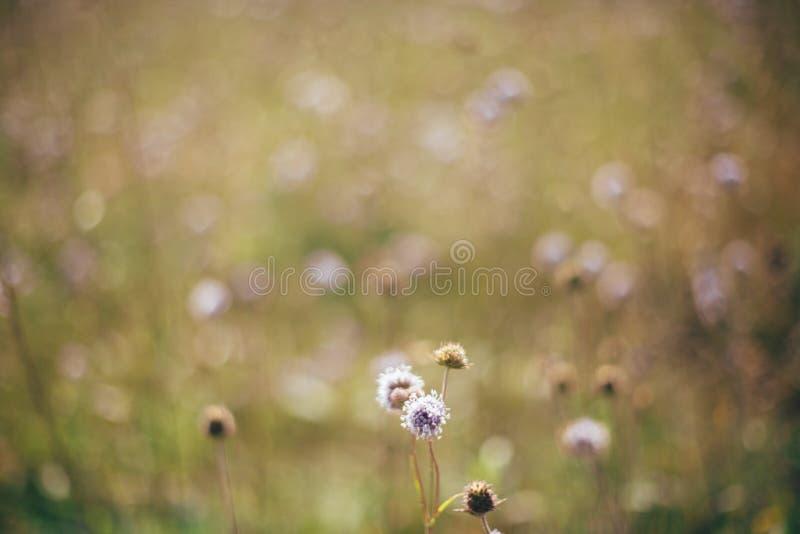 Wildflowers bonitos do arvensis do knautia no prado ensolarado em montes nas montanhas Recolhendo flores e ervas, vida simples ru fotos de stock