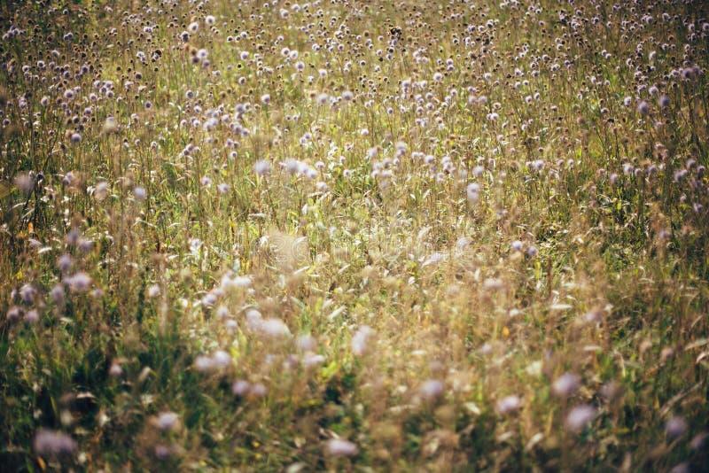 Wildflowers bonitos do arvensis do knautia no prado ensolarado no por do sol nas montanhas Recolhendo flores e ervas, vida simple imagem de stock royalty free