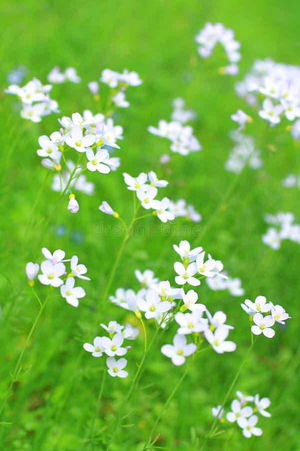 Wildflowers brancos na primavera imagem de stock royalty free