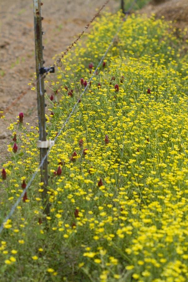 Wildflowers bulbosos do botão de ouro e trevo carmesim foto de stock