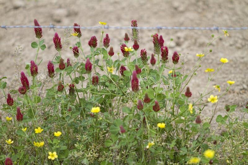 Wildflowers bulbosos do botão de ouro e trevo carmesim imagem de stock royalty free