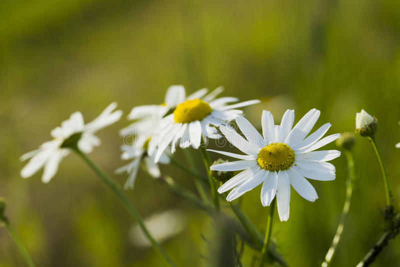 Wildflowers chamomile στοκ φωτογραφία