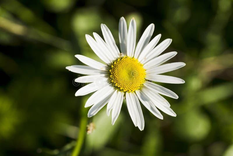 Wildflowers chamomile στοκ φωτογραφίες με δικαίωμα ελεύθερης χρήσης