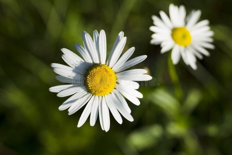 Wildflowers chamomile στοκ εικόνες