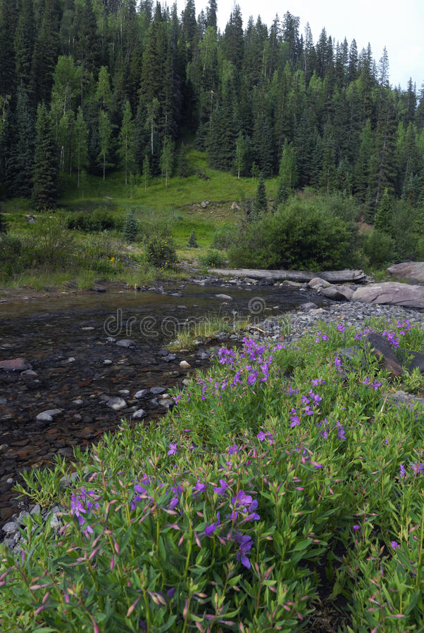 Wildflowers in Colorado Rocky Mountains stock image