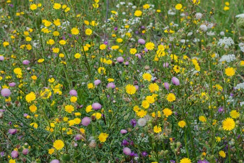 Wildflowers coloridos en el campo Escarde el cardo del ommon del ? de ?, cicuta, cardo de cerda fotos de archivo libres de regalías