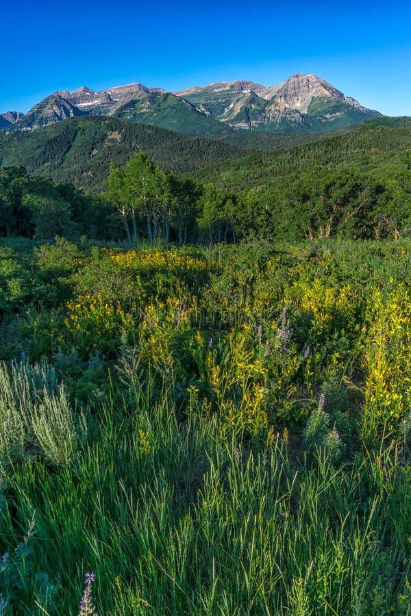 Wildflowers com Rocky Mountains no fundo imagem de stock