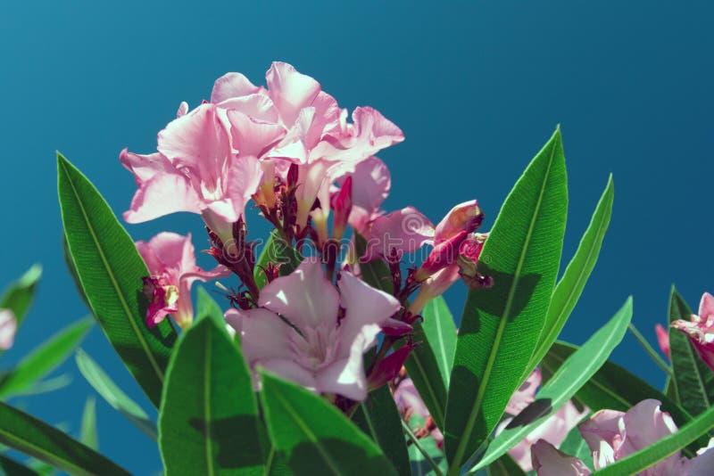 Wildflowers cor-de-rosa delicados com as folhas verdes suculentas e o céu azul fotografia de stock