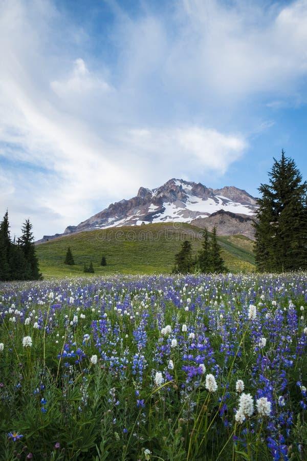 Wildflowers d'été sur le capot de Mt., Orégon photos libres de droits