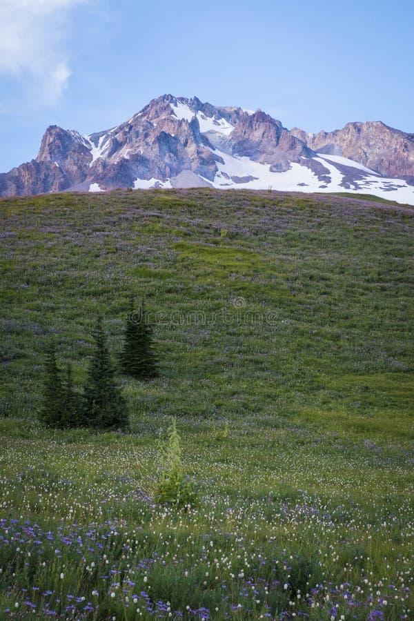 Wildflowers d'été sur le capot de Mt., Orégon image libre de droits