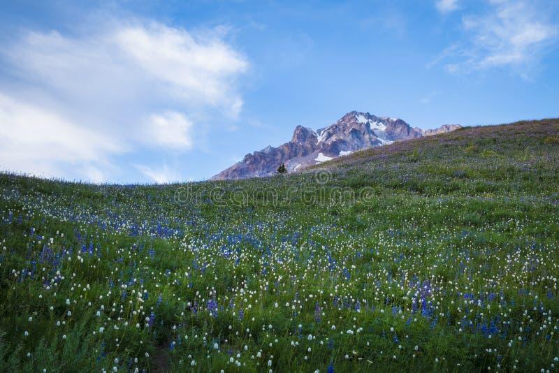 Wildflowers d'été sur le capot de Mt., Orégon images libres de droits