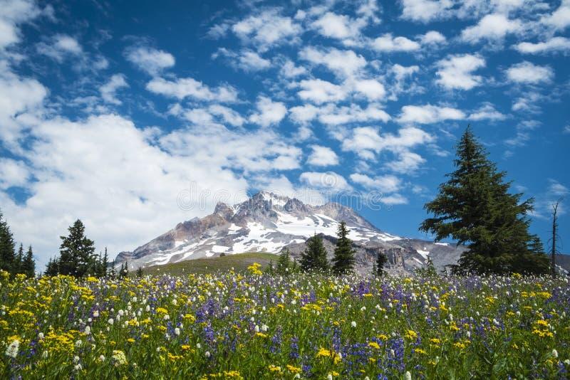 Wildflowers d'été sur les pentes du capot de bâti, Orégon photos stock