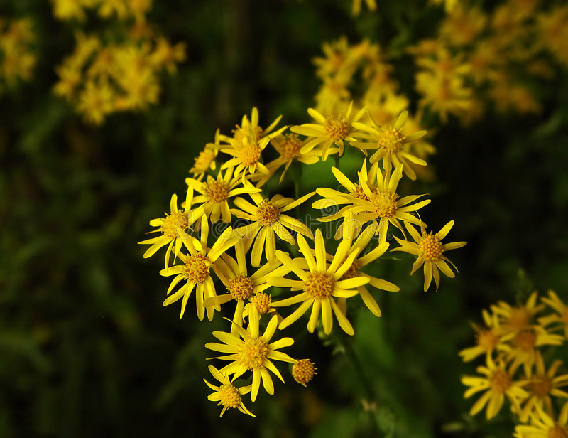 Wildflowers d'or photo libre de droits