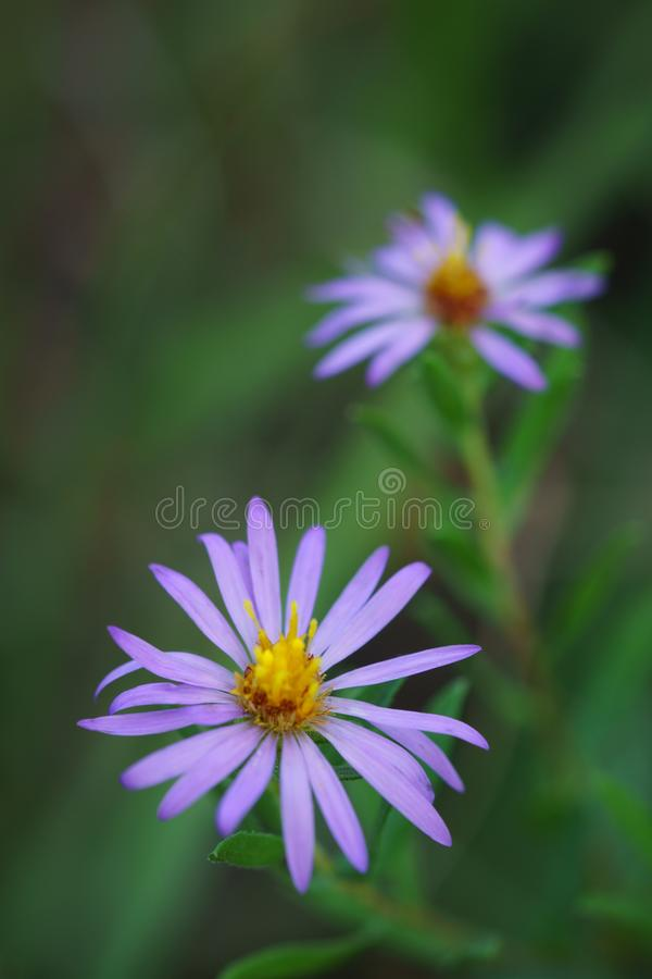 Wildflowers d'aster aromatique images stock