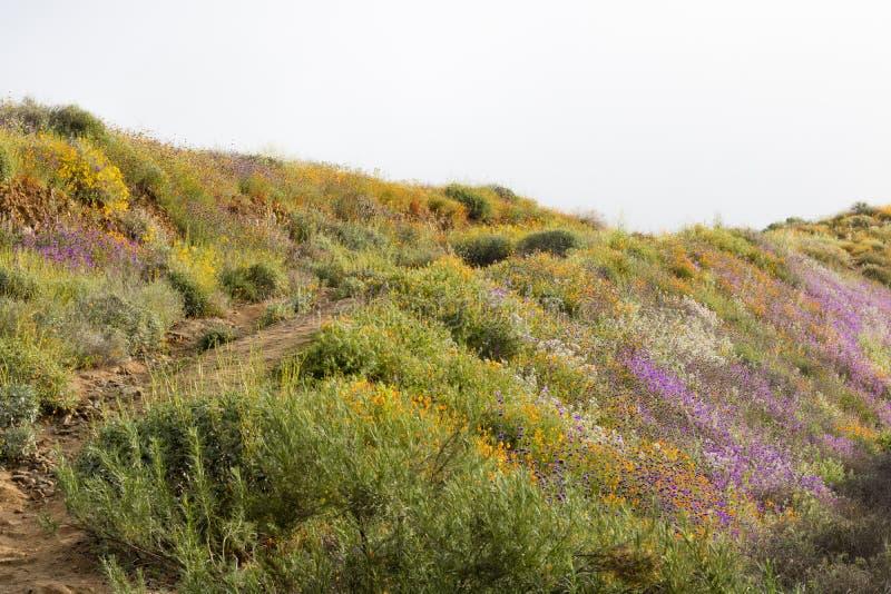 Wildflowers d'or vifs vibrants oranges lumineux de pavots de Californie, de plantes originaire de ressort saisonnier, pourpres et photographie stock