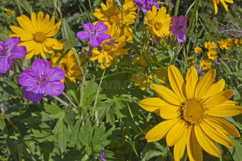 Wildflowers da arnica e do gerânio pegajoso fotografia de stock