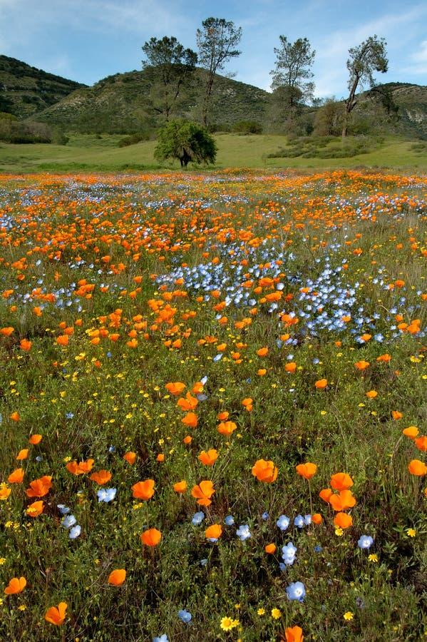Wildflowers da mola de Califórnia e floresta do carvalho fotografia de stock