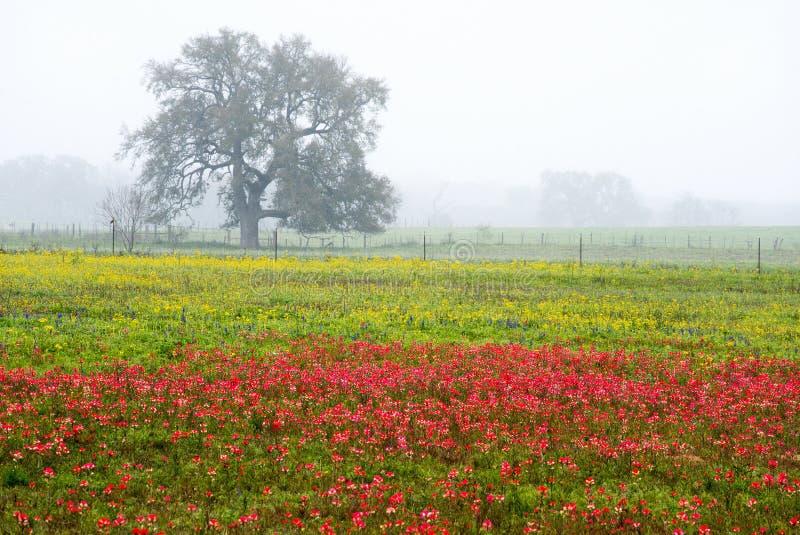 Wildflowers da mola em Texas Hill Country foto de stock