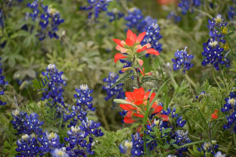 Wildflowers dans le Texas est photo stock