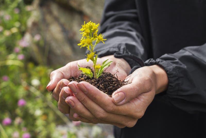 Wildflowers dans les mains photographie stock libre de droits