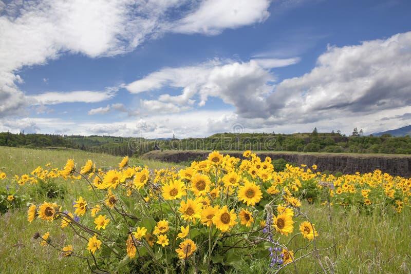 Wildflowers de Arrowleaf Balsamroot em Rowena Crest imagens de stock