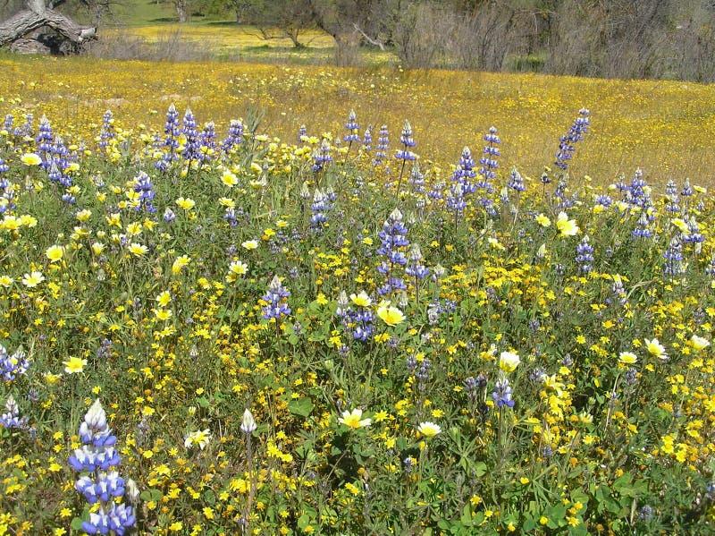Wildflowers de Califórnia fotografia de stock royalty free
