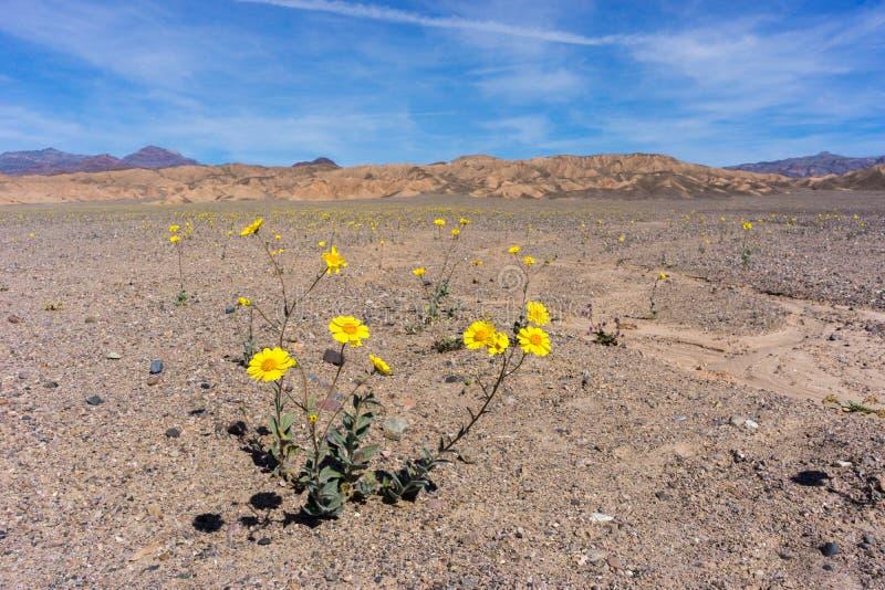 Wildflowers de Death Valley foto de stock
