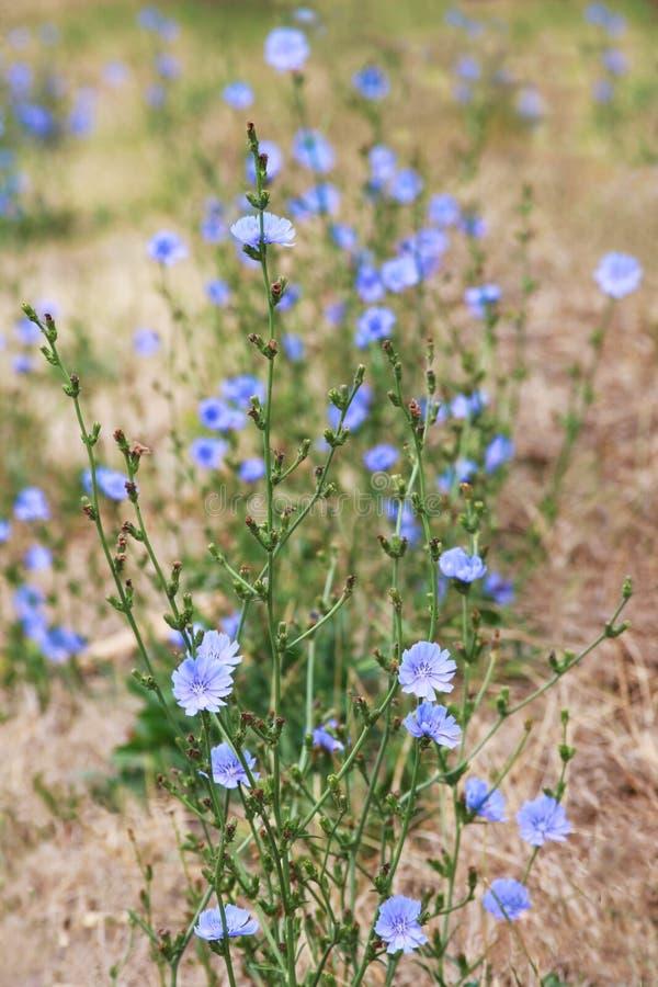 Wildflowers de florescência da chicória do azul no arquivados fotografia de stock royalty free