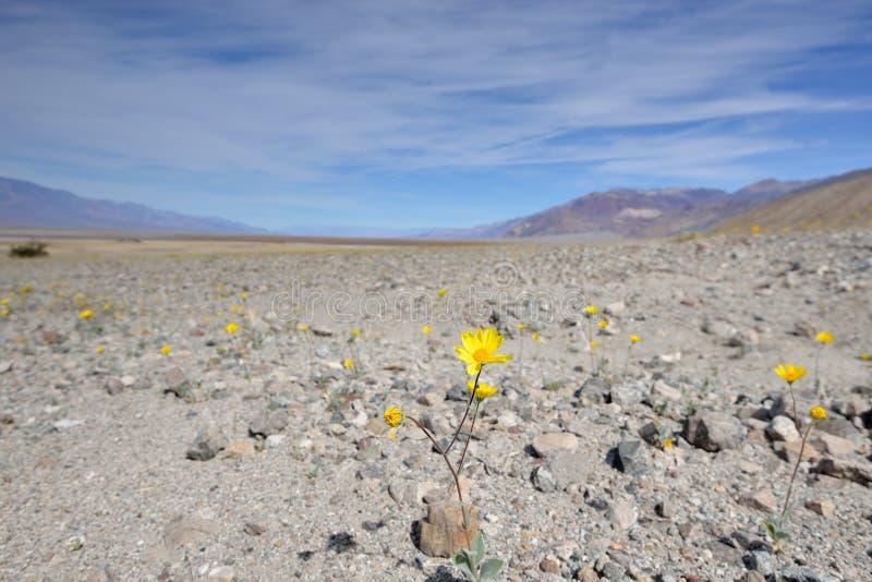Wildflowers de florescência no Vale da Morte foto de stock