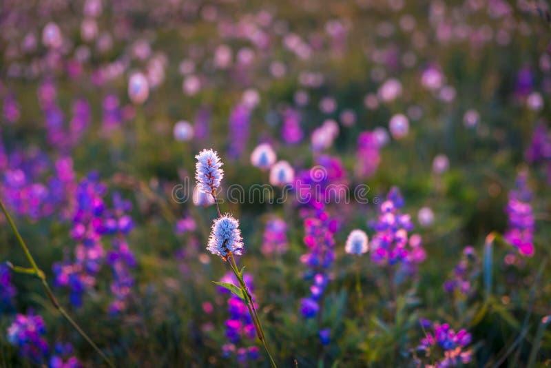Wildflowers de la montaña hechos excursionismo por puesta del sol fotografía de archivo