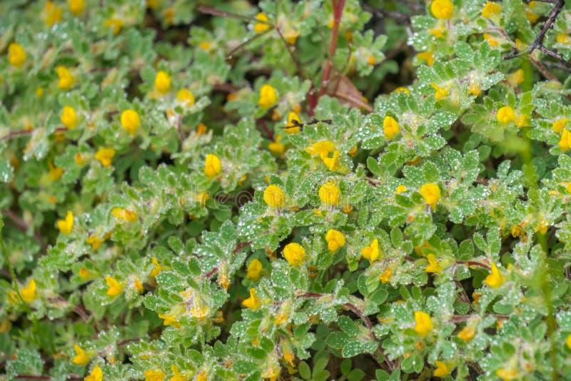 Wildflowers de Lotus de la colina (brachycarpus de Acmispon) cubiertos en las gotitas de agua en un día de primavera lluvioso, pa imágenes de archivo libres de regalías
