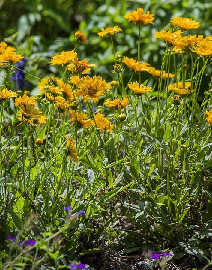 Wildflowers de Luisiana fotografía de archivo libre de regalías