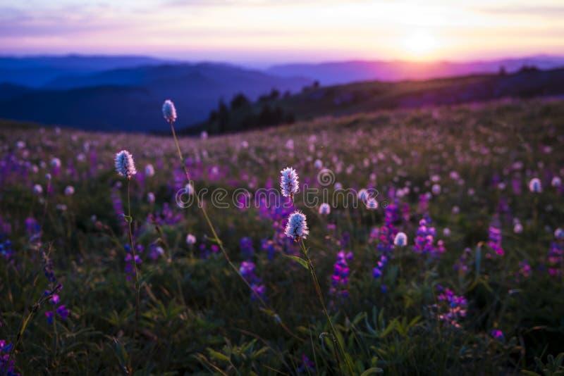 Wildflowers de montagne éclairés à contre-jour par coucher du soleil image libre de droits