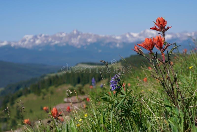 Wildflowers de montagne de tombeau images libres de droits