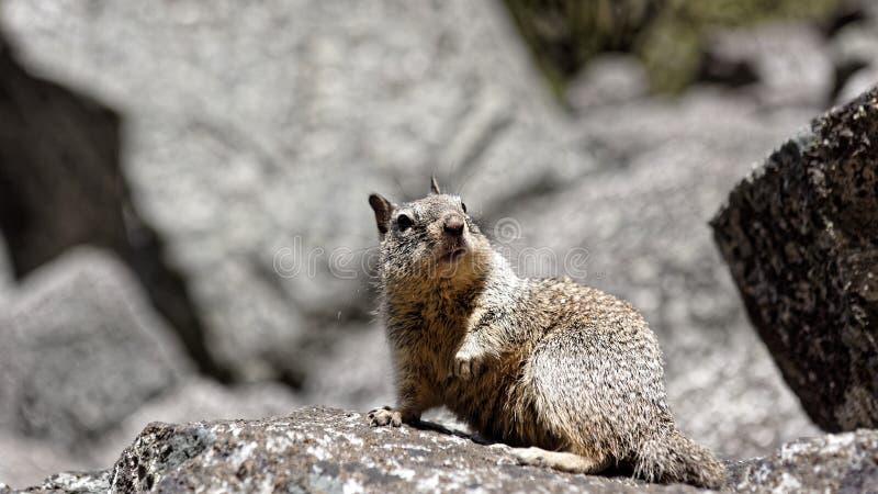 Wildflowers de rongement moulus d'écureuil de la Californie (beecheyi d'Otospermophilus) photographie stock libre de droits