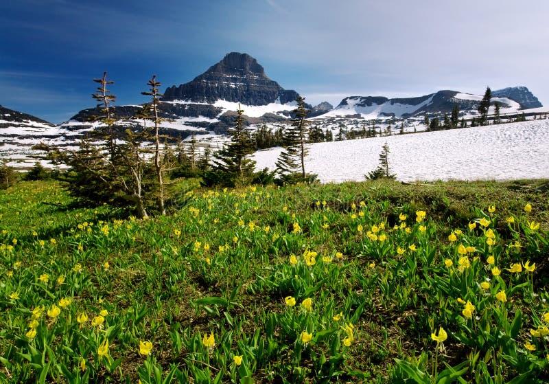 Wildflowers de source en stationnement national de glacier photographie stock libre de droits