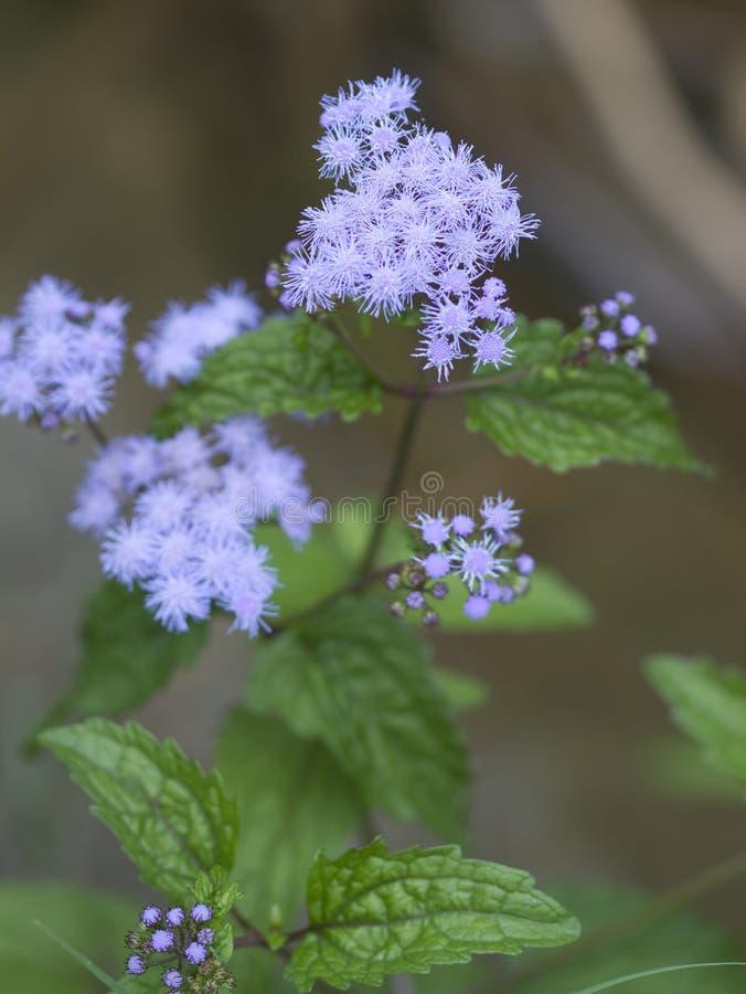 Wildflowers del Ageratum - coelestinum del Conoclinium fotografía de archivo