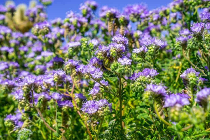 Wildflowers del crenulata de Phacelia Phacelia que florecen en el parque de estado del desierto de Anza Borrego durante una flora fotos de archivo