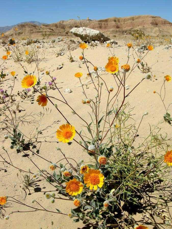 Wildflowers del desierto imagen de archivo libre de regalías